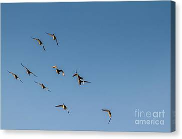 Northern Pintails  Canvas Print