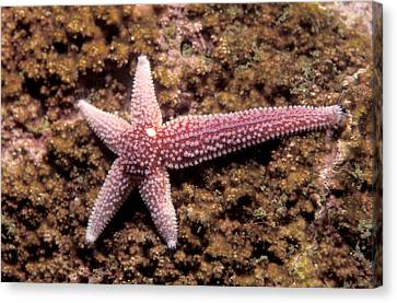 Northern Sea Star Canvas Print by Andrew J. Martinez