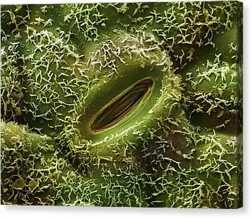 Oak Leaf Stoma (quercus Robur) Canvas Print by Power And Syred