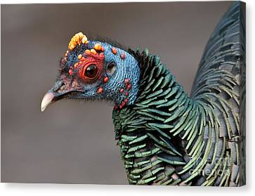Ocellated Turkey Portrait Canvas Print by Anthony Mercieca