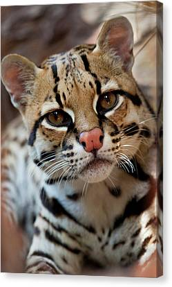Ocelot (felis Pardalis Canvas Print by Larry Ditto