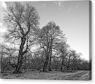 Old Trees Canvas Print