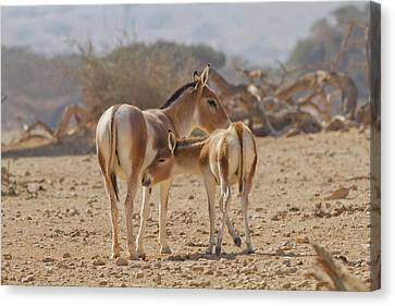 Onager (equus Hemionus) Canvas Print by Photostock-israel