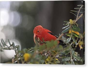 One 'i'iwi Bird Extracting Nectar Canvas Print by Sami Sarkis