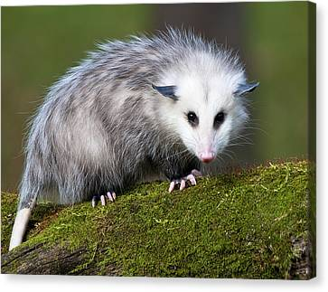 Opossum  Canvas Print by Paul Cannon