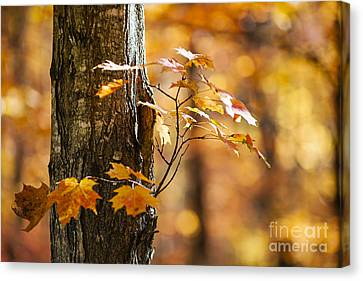Orange Fall Maple Canvas Print by Elena Elisseeva