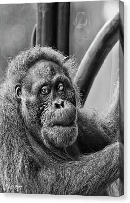 Orangutan Mama Canvas Print by Phill Doherty