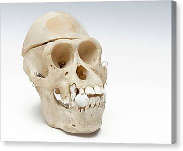 Orangutan Skull Canvas Print by Ucl, Grant Museum Of Zoology