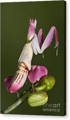 Orchid Mantis Canvas Print