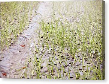 Organic Onion Crop Canvas Print by Ashley Cooper