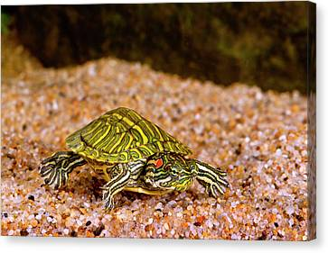 Ornate Red Ear Turtle, Chrysemys Canvas Print