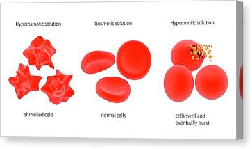 Osmosis In Red Blood Cells Canvas Print by Science Photo Library