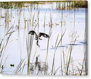 Osprey Caught A Fish  Canvas Print
