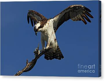 Canvas Print featuring the photograph Osprey With A Fish Photo by Meg Rousher
