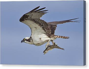 Osprey With Fish  Canvas Print by Regina  Williams