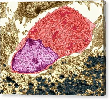 Osteoclast Canvas Print by Steve Gschmeissner