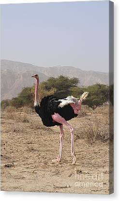 Ostrich Canvas Print - Ostrich In A Nature Reserve by PhotoStock-Israel
