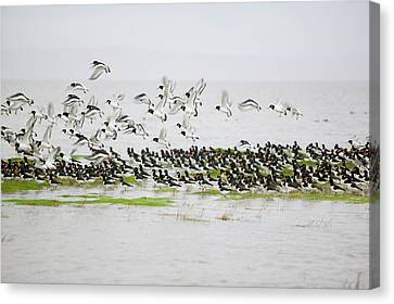 Oystercatchers Roosting At High Tide Canvas Print