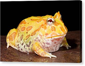 Pac Man Frog Ceratophrys Canvas Print by David Kenny