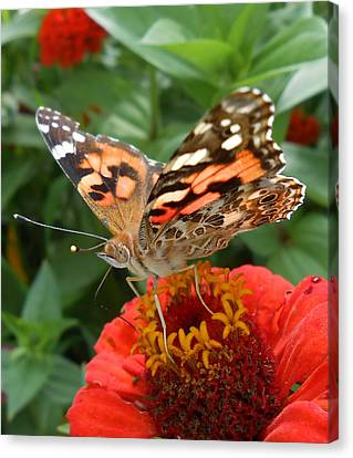 Painted Lady Butterfly  Canvas Print by Diannah Lynch