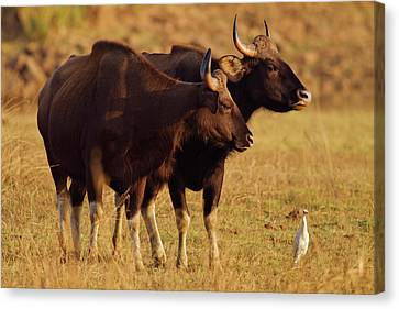 Pair Of Indian Gaur, Tadoba Andheri Canvas Print by Jagdeep Rajput