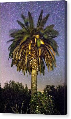 Palmtree In Alentejo Canvas Print by Andre Goncalves