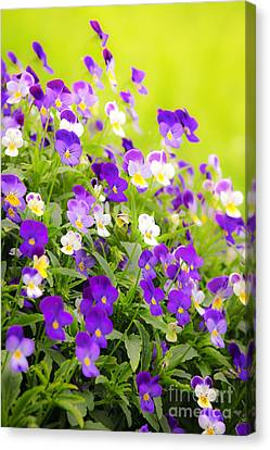 Pansies Canvas Print by Elena Elisseeva