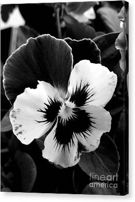 Pansies Canvas Print by Rose Wang