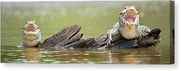 Pantanal Caiman, Pantanal Wetlands Canvas Print