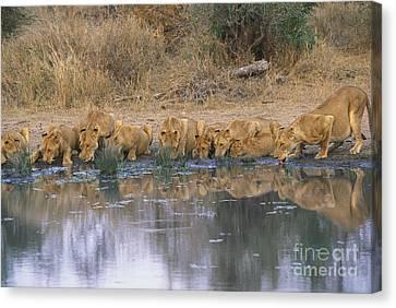 Panthera Leo Canvas Print by Art Wolfe