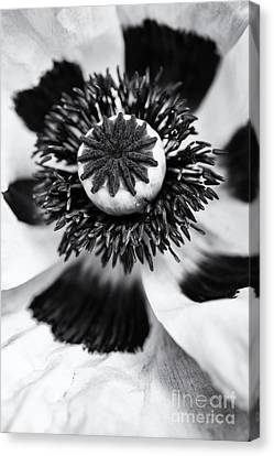 Anther Canvas Print - Papaver Orientale Perrys White by Tim Gainey