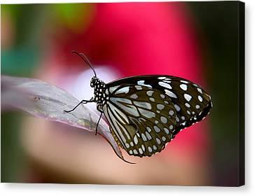Paper Kite Butterfly  Canvas Print by Saija  Lehtonen