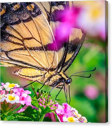 Canvas Print featuring the photograph Papilio Glaucus by Rob Sellers