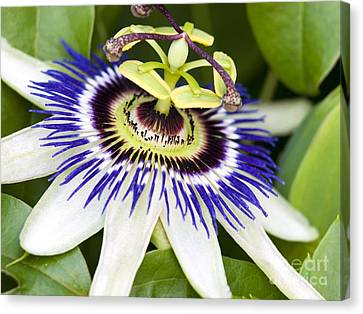 Passion Flower Passiflora Caerulea Canvas Print by Adrian Bicker