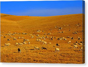Sheep Grazing In The Countryside Tarquinian Canvas Print