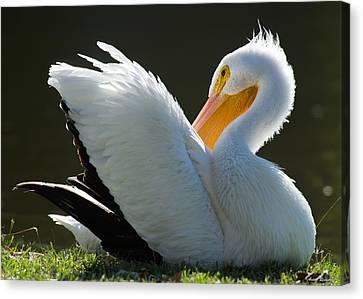 Canvas Print featuring the photograph Pelican Preening by Avian Resources