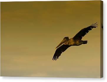 In Canvas Print - Pelican by Sebastian Musial