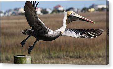 Pelican Take Off Canvas Print by Paulette Thomas