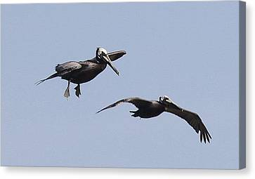 Pelicans In Flight 2 Canvas Print by Cathy Lindsey