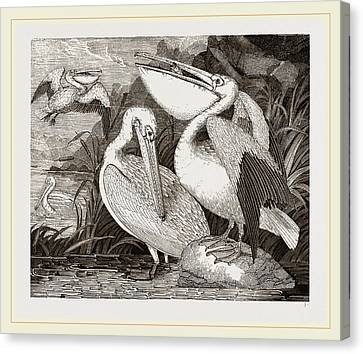 Pelicans Canvas Print by Litz Collection