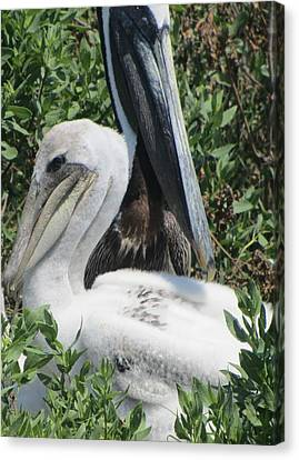 Pelicans Of Beacon Island 2 Canvas Print by Cathy Lindsey