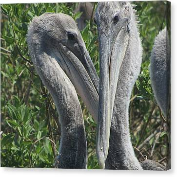 Pelicans Of Beacon Island Canvas Print by Cathy Lindsey