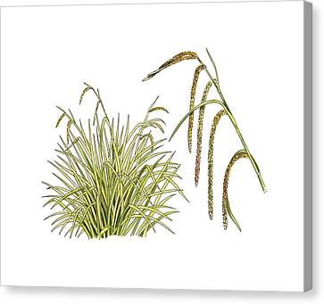 Pendulous Sedge (carex Pendula) Canvas Print by Science Photo Library