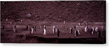 Penguins Make Their Way To The Colony Canvas Print