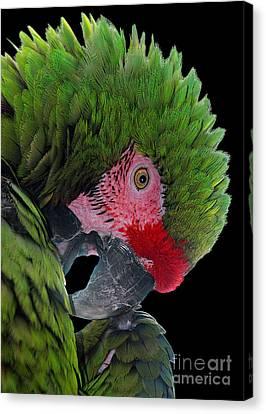 Pensive Parrot Canvas Print