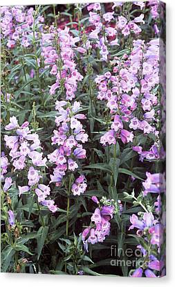 Penstemon Penstemon Sour Grapes Canvas Print