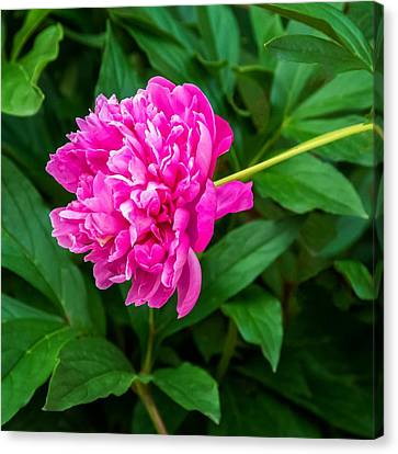 Peony Canvas Print by Steve Harrington