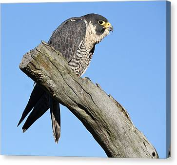 Peregrine Falcon Canvas Print by Paulette Thomas