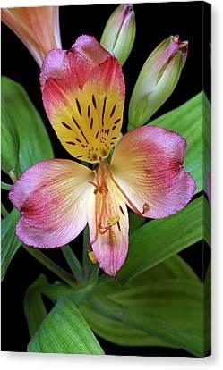 Peruvian Lily (alstroemeria X Hybrida) Canvas Print