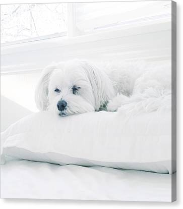 Sleeping Maltese Canvas Print - Petit Prince by Natasha Marco